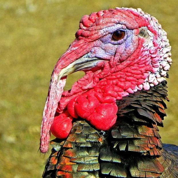 turkey-570935_640